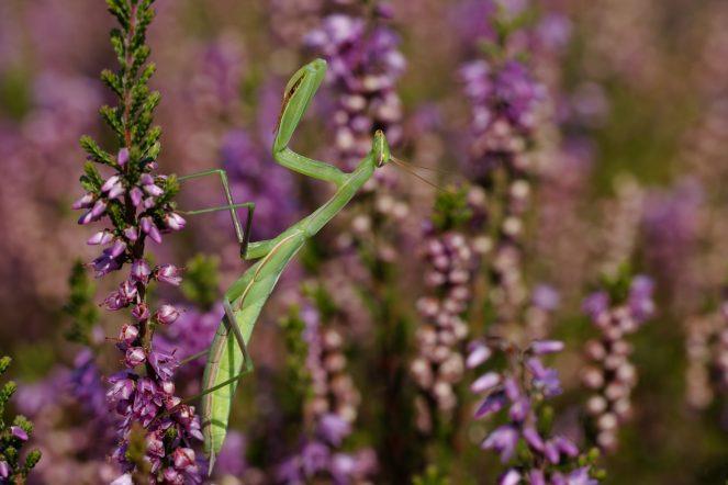 Männliche Gottesanbeterin, Mantis religiosa