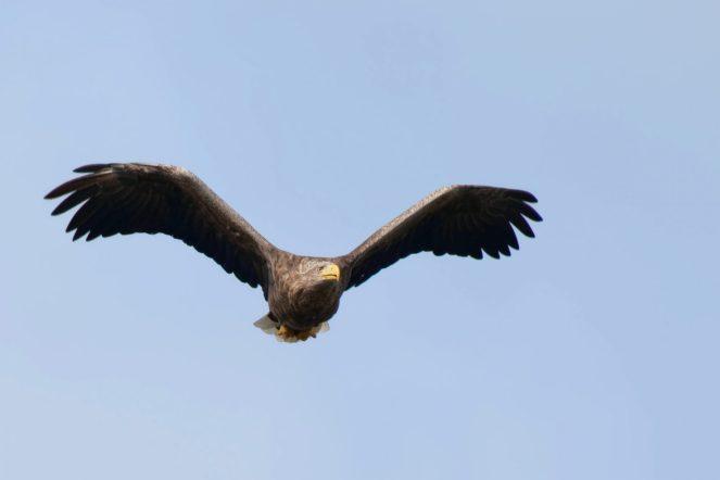 Seeadler, fast auf Augenhöhe