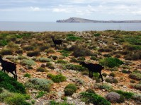 Goats on Menorca's rocky northern edge