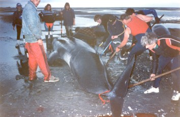 Volunteers try to right a whale