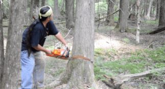 Wayne using a chainsaw to cut down a mature cedar of requisite size and shape (Photo Credit: Thomas A. DuBois)
