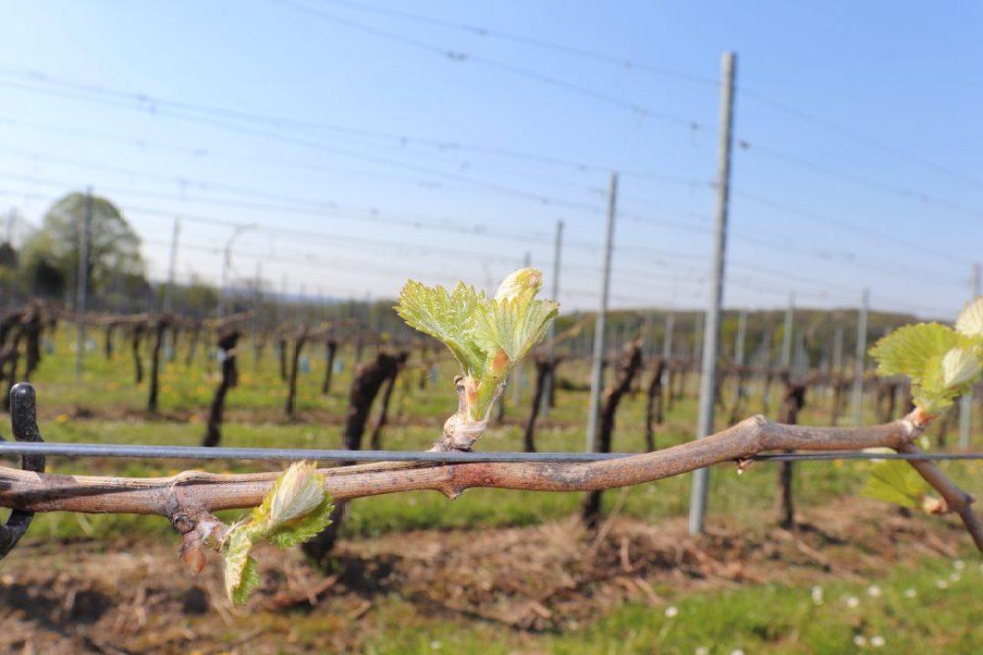 wijnreis naar Limburg: wijngaard Raarberg