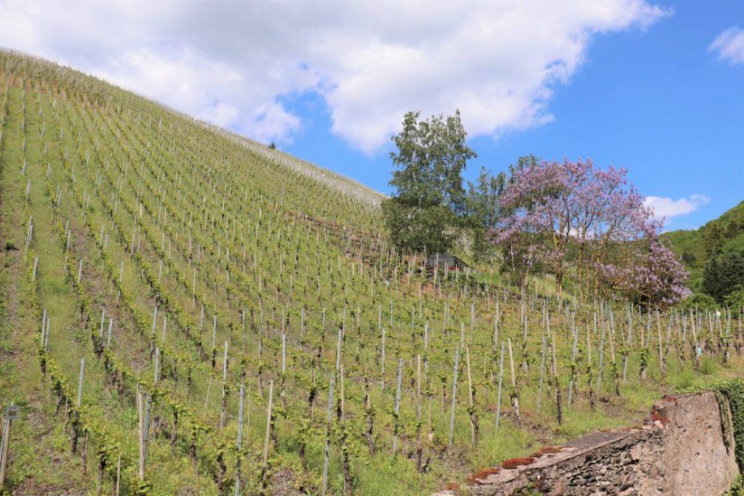 Wijnreis Moezel en Duitse wijn: Berkastel Kues wijngaard