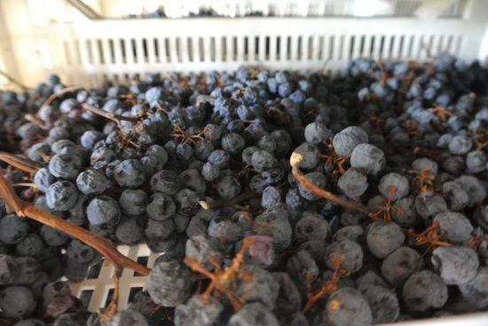 druiven drogen voor Amarone
