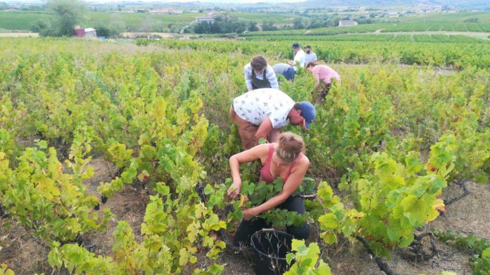 oogst wijn