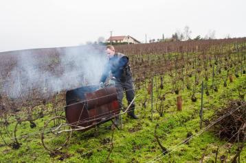 In de winter worden de wijnstokken gesnoeid volgens vastgestelde methoden