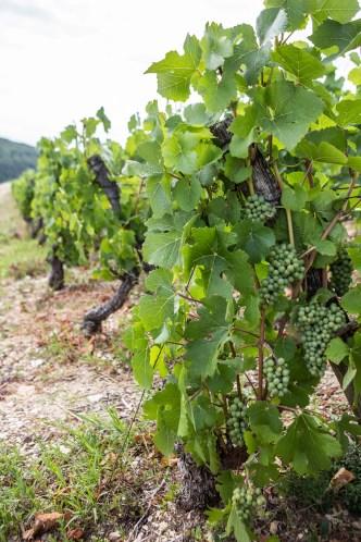 Pinot Noir druiven in juli