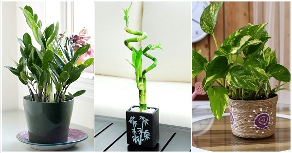 Top Lucky Plants For Home And Offices
