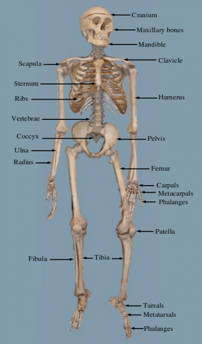 diagram of skeletal ribs working crt monitor with adventist youth honors answer book/health and science/bones, muscles, movement - pathfinder wiki