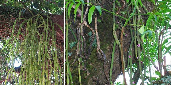 Удивительный суккулентный многолетник — Рипсалис волосовидный и другие виды, сорта. Описание и правила по уходу. Уход за комнатным рипсалисом. Как и когда пересаживать рипсалис