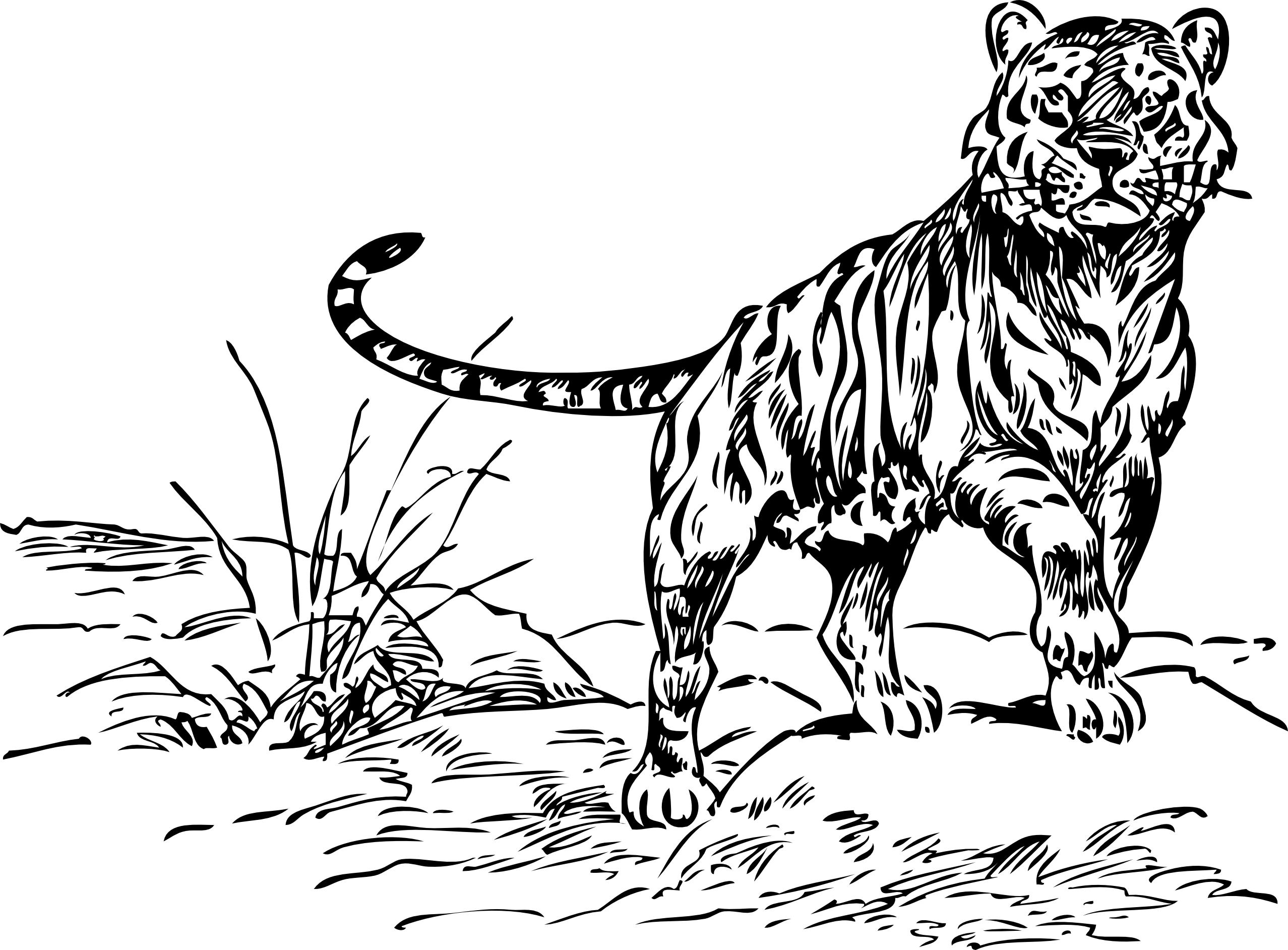 Tiger Black And White Black And White Tiger Clipart Clipart