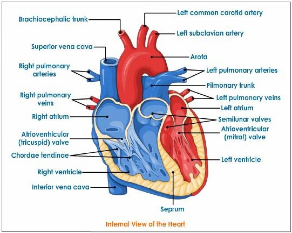 Real Heart Label The Diagram Of Human Heart Animated Real