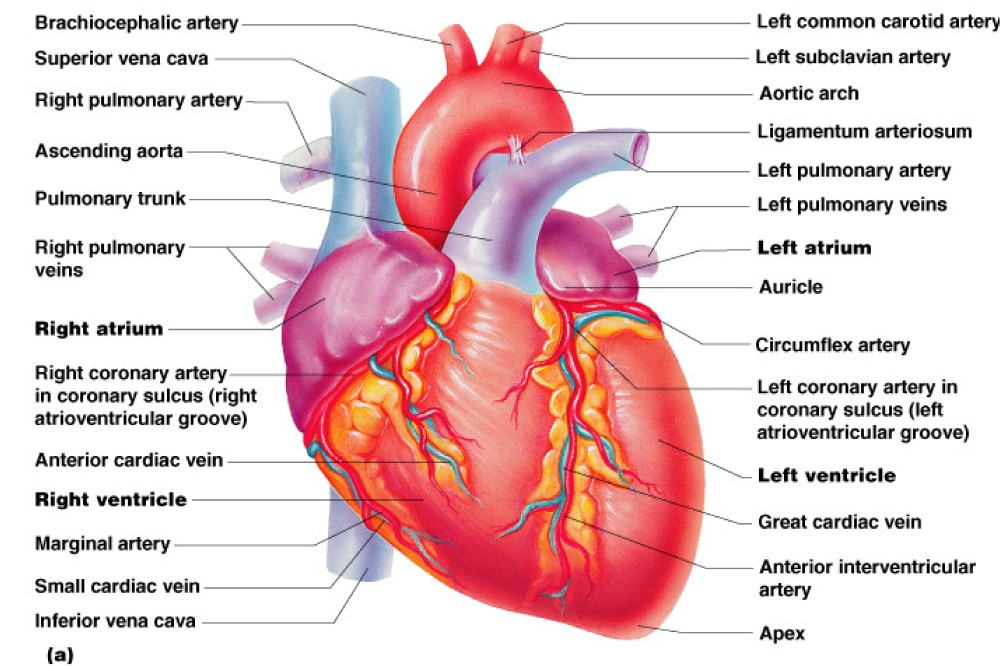 medium resolution of real heart label the diagram of human heart animated real clipart