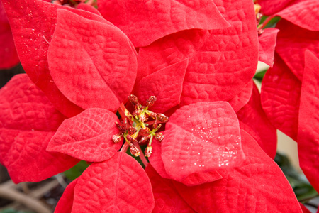 987-proper_ways_to_care_for_poinsettias