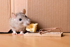 996-how-to-get_rid_of_rodents