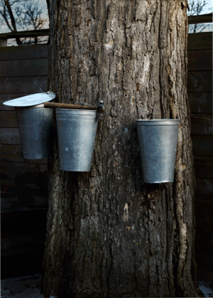 071-have-a-maple-treehow-to-tap-a-maple-tree-for-making-syrup-300x419 James On