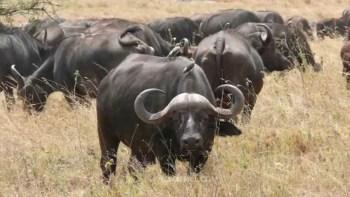 صيد الفرائس الكبيرة في أفريقيا - صيد الجاموس البري