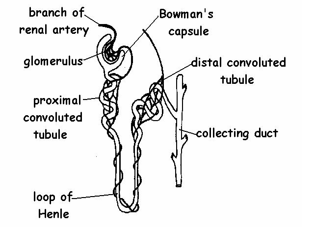 human excretory system diagram labeled
