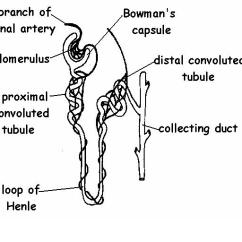Bowman S Capsule Diagram Universal Turing Machine Excretory System Answers Wikieducator Kidney Tubule Labelled Jpg