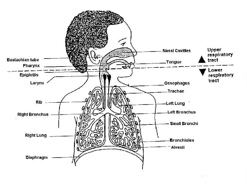 lower respiratory system diagram