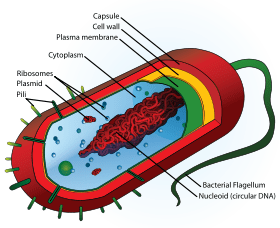 bacteria structure diagram of the human nose bacterial wikieducator png