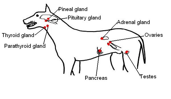 endocrine system diagram two phase motor wiring the anatomy and physiology of animals worksheet organs dog labelled jpg