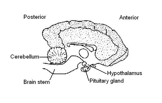 pituitary system diagram
