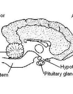 Dog   brain showing position pituitary and hypothalamus also endocrine system worksheet answers wikieducator rh