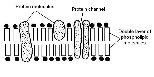 The Anatomy and Physiology of Animals/Plasma Membrane