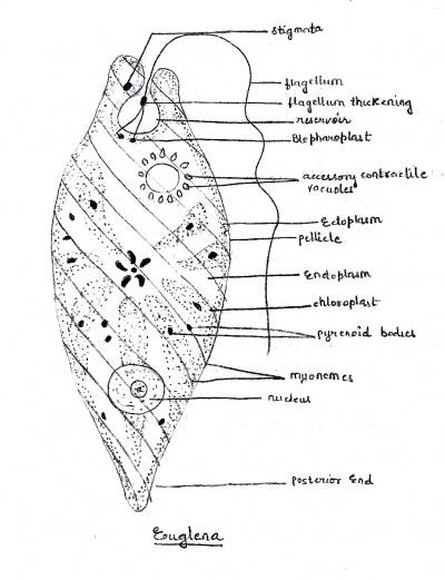 euglena diagram basic