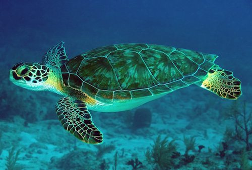 Resultado de imagen para tortuga verde