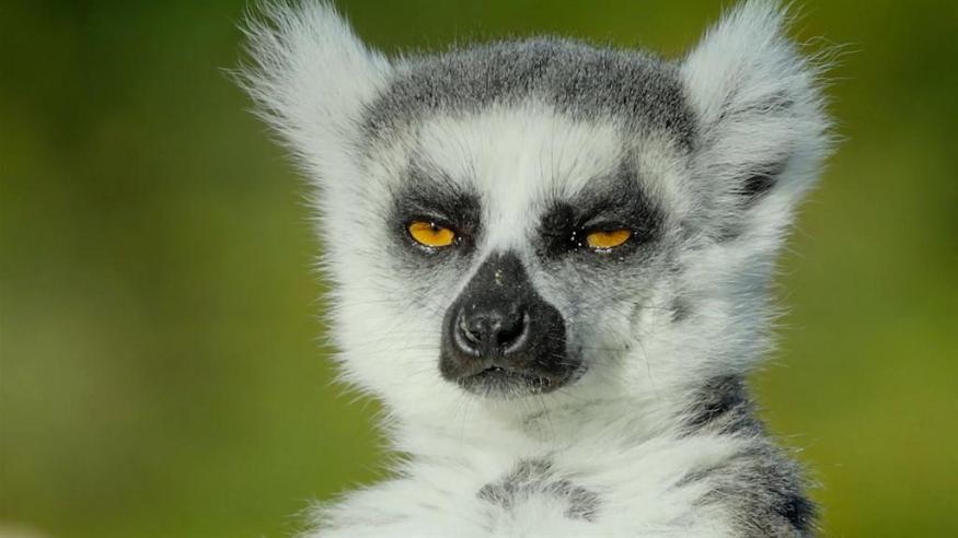 Lemurs as Pets