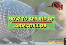 Photo of How To Get Rid Of Armadillos