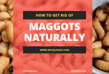 Photo of How to Get Rid of Maggots Naturally