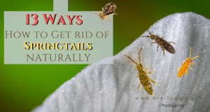 How to Get Rid of Springtails Naturally - wikiJunkie