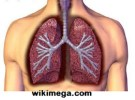 Best Herbs for Lung Cleansing, human lung photo, best foto of human lung