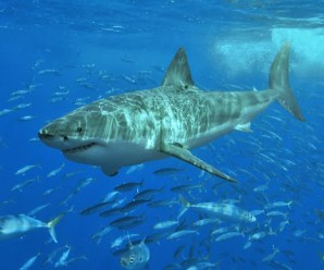 For the First Time a Great White Shark Got Wedged Napping on Camera