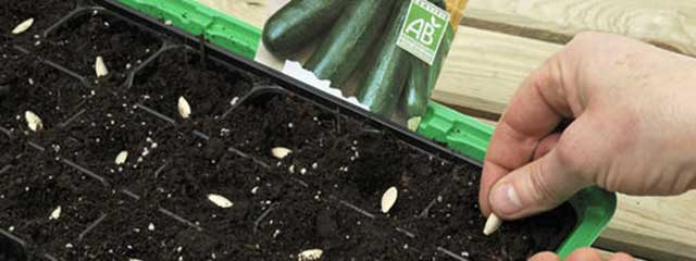Sow cucumber seeds directly