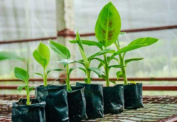 Banana cultivation techniques