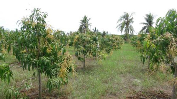 Stimulating mango to flower early and protecting young fruits