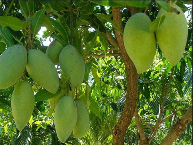 What are the characteristics of Taiwan mangos?