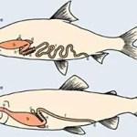 La digestión de los peces