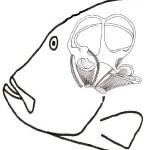 Oído de los peces