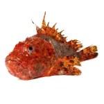 El cabracho, un pez de carne deliciosa y aspecto grotesco.