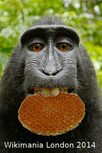 macaque photo with photoshopped Stroopwafel, courtesy of a Wikipedian