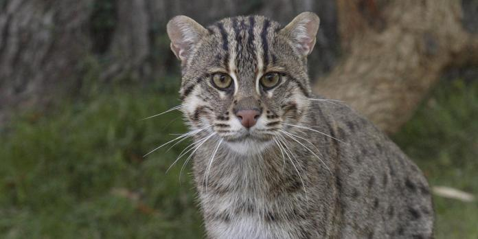 fishingcat 002 0 - (10) Ten Of The Rarest Cat Breeds In Existence Today