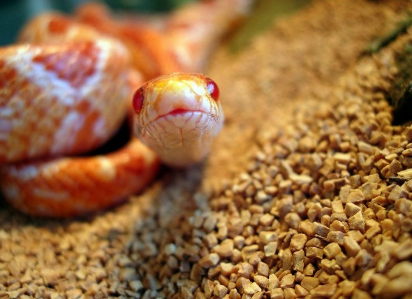 Do Corn Snakes Make Good Pets? What Do Corn Snakes Eat & How To Care For Them 1