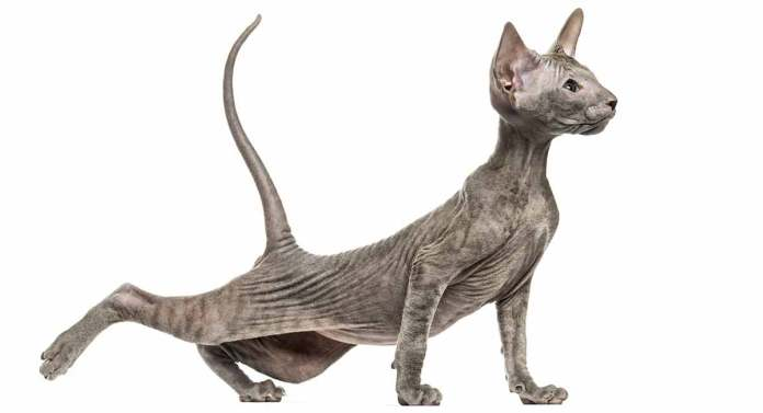 (10) Ten Of The Rarest Cat Breeds In Existence Today 2