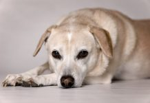 Abscesses In Dogs