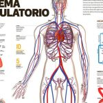 Sistema o Aparato circulatorio